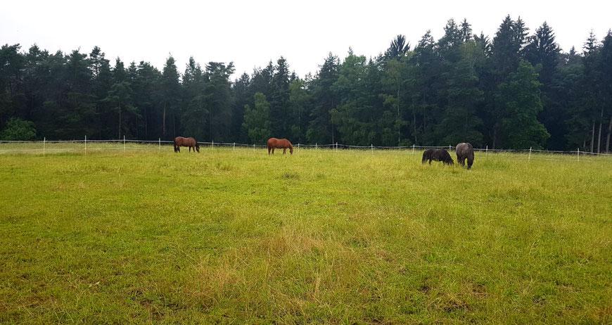 Vier Pferde auf einer Weide