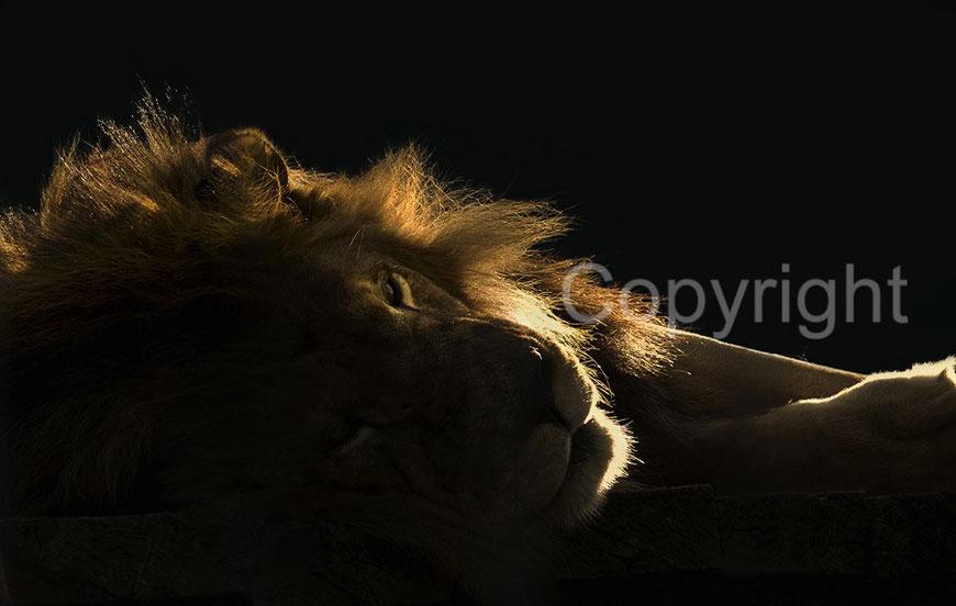 der König der Tiere, ruhender Löwe