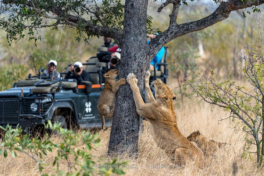 """Trotz dem wachsenden Fotogafie-Tourismus und der Arbeit von Naturschutzorganisationen, ist der Afrikanische Löwe immer noch als gefährdet eingestuft. (IUCN 2016). Der Asiatische Löwe wird bei der IUCN als """"vom Aussterben bedroht"""" geführt."""