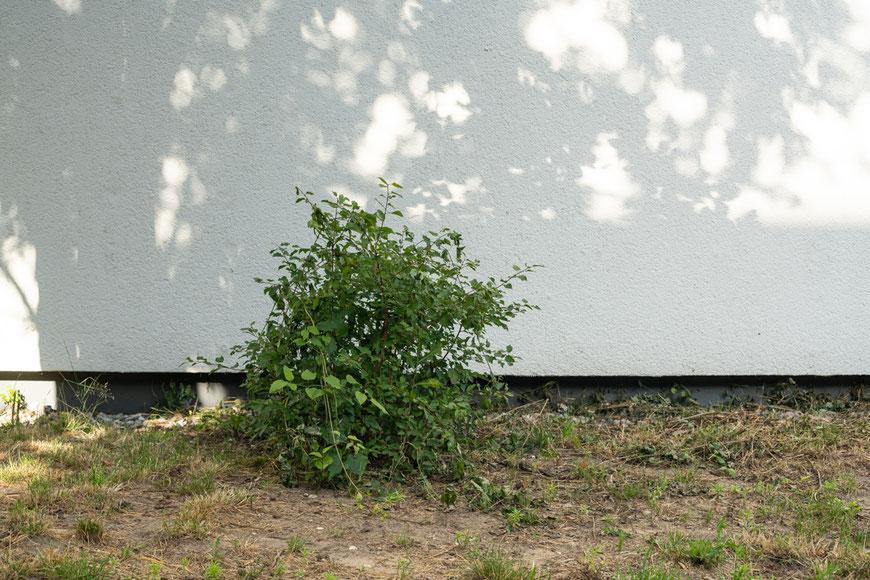Busch unten links vor weißer Wand mit Schatten von Bäumen