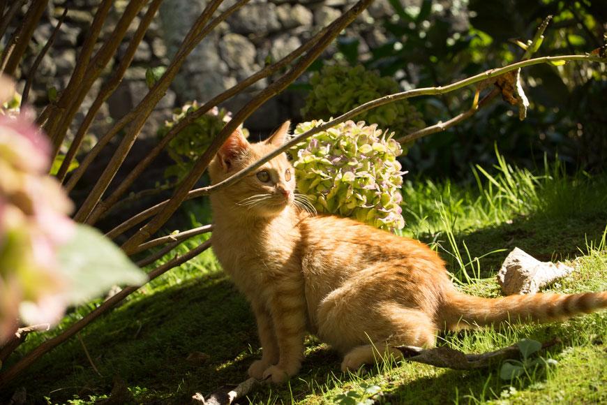 Azoren-Katze