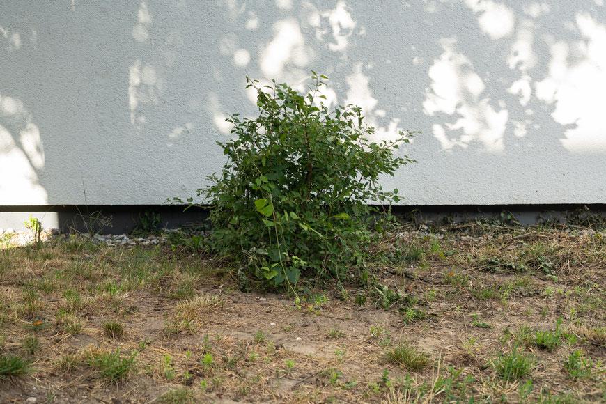 Busch, mittig im Bild, vor weißer Wand mit Schatten von Bäumen