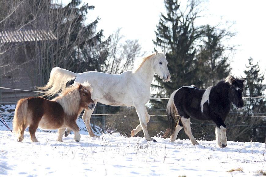 Umstellung auf Barhuf, Ohne Hufeisen, Natural Hoofcare, Hufpflege für Ponies, Shetties, Kleinpferde, Pferde, Endmasspony, Kaltblut, Vollblut