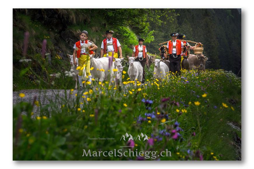 Alpfahrt, Brauchtum, Tradition, Alp Soll, Brülisau, Säntis, Ziegen, Kühe, Hornkühe, Appenzellerland, Appenzell, Schweiz, Alpstein, Seealp, Seealpsee, Spiegelung
