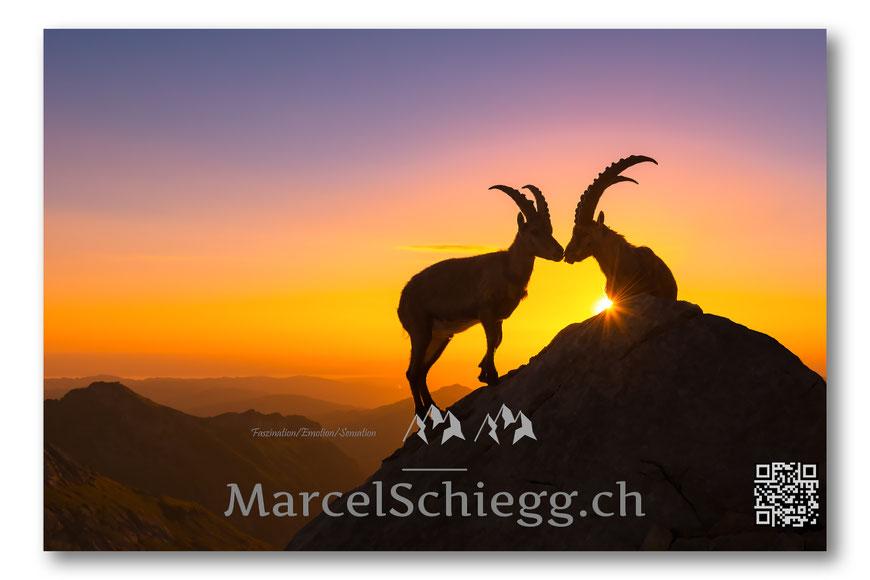 Rotsteinpass, Marcel Schiegg, Steinböcke, Wildtiere, Sonnenaufgang, Alpstein, Appenzell, Appenzellerland, Ebenalp, Schäfler, Säntis, Albert Wyss, Morgenstimmung, Bodensee, Alpen