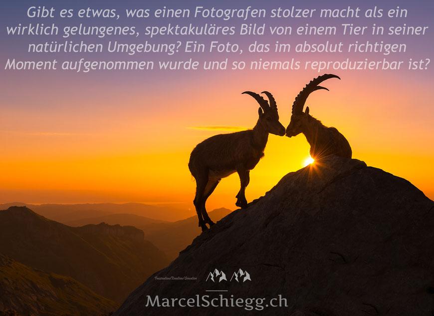 Marcel Schiegg, Alpstein, Appenzell, Appenzellerland, Sonnenaufgang, Steinböcke, Wildlife, Sunrise, Nature, Rotsteinpass, Ostschweiz, Ibex, Bergwelt, Alpen, Schweiz