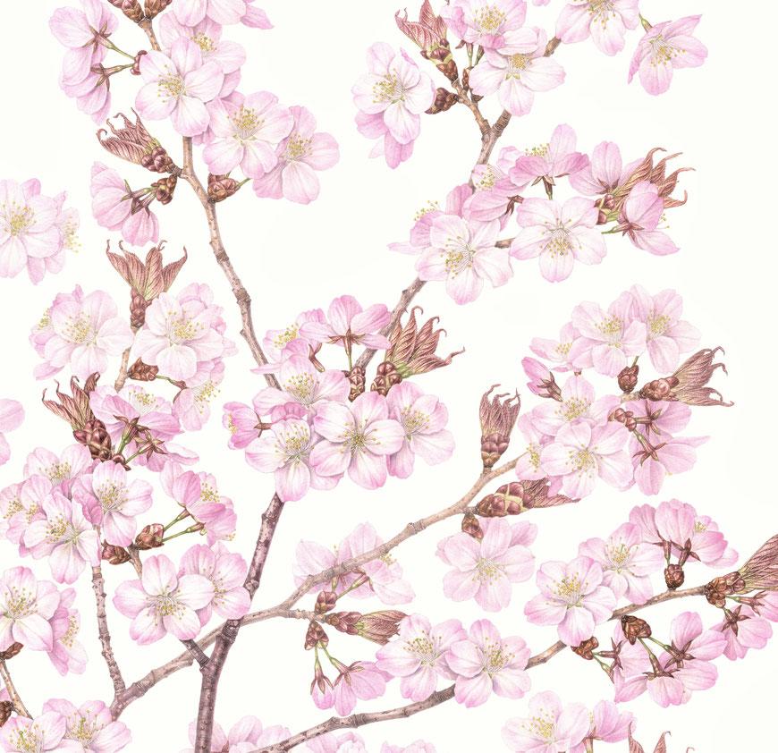 オオヤマザクラ 〈大山桜 〉・部分  Cerasuus sargentii (Rehder)H. Ohba var. sargentii   610×420 mm