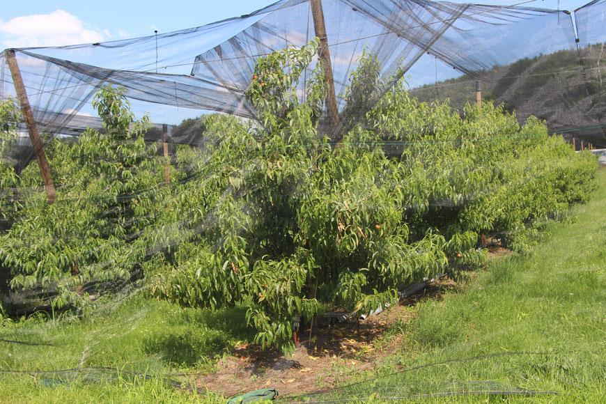 Pfirsichplantage am Brotbaum