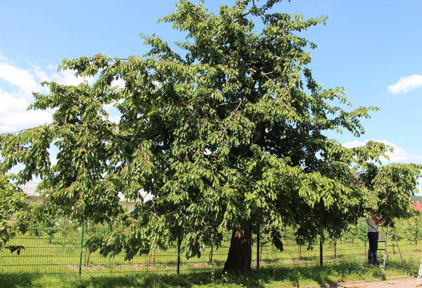 Süßkirsche an der Einfahrt zum Kastanienhof - veredelt auf der Vogelkirsche als Unterlage und gepflanzt 1981; der Baum kann 90 Jahre alt werden