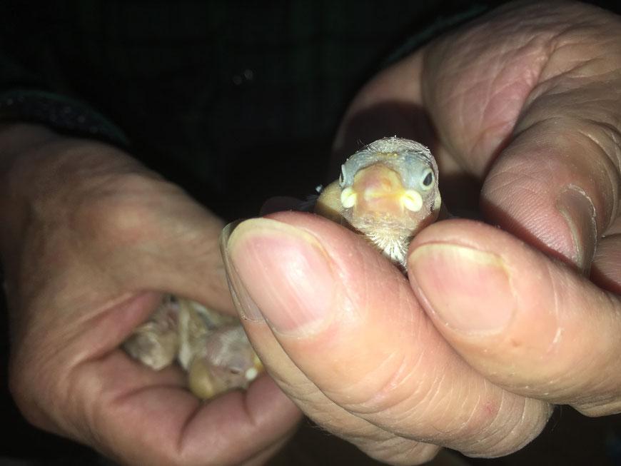 ペットミッキンに手乗りの高級文鳥のヒナが仲間入りしました。