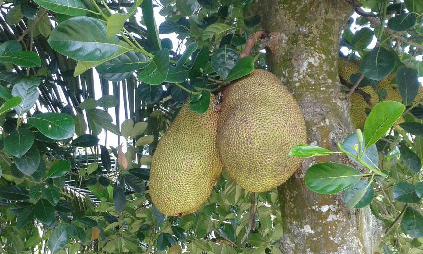 Stinkfrucht