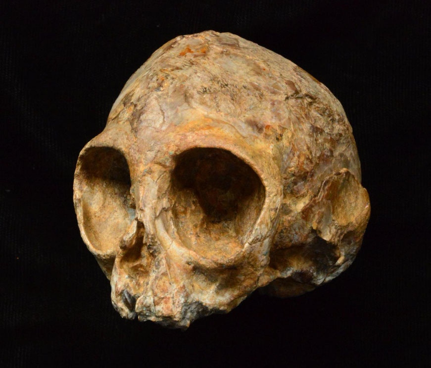 evolution news new ape species human common ancestor