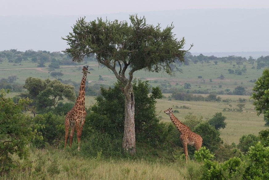 Massai-Giraffen können Blätter der Baumkronen bis in einer Höhe von 6 m fressen.