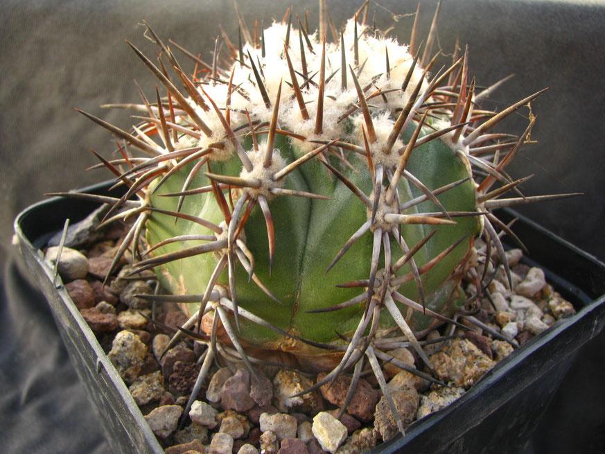 Echinoides