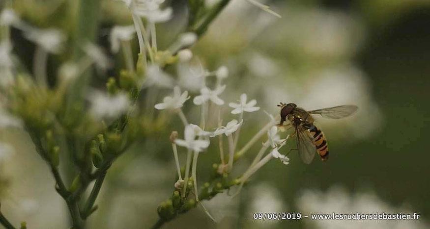 Episyrphus balteatus, Sirphidae, et Valeriana rubra, Cévennes