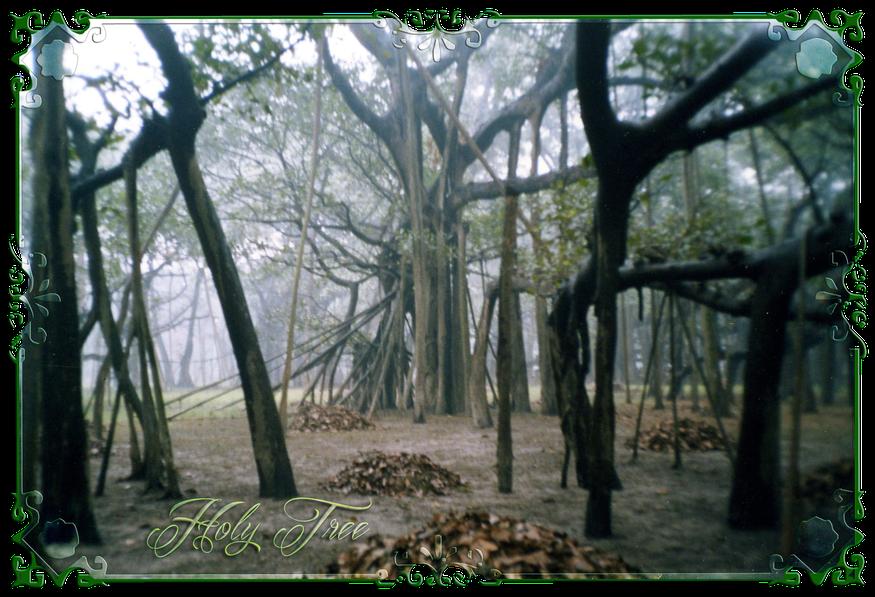 Der größte Banyan-Baum mit einem Umfang von 450 Meter, mit ca. 1830 Luftwurzeln und älteste mit 250 Jahren steht im Botanischen Garten in Shibpur, Kalkutta, Indien