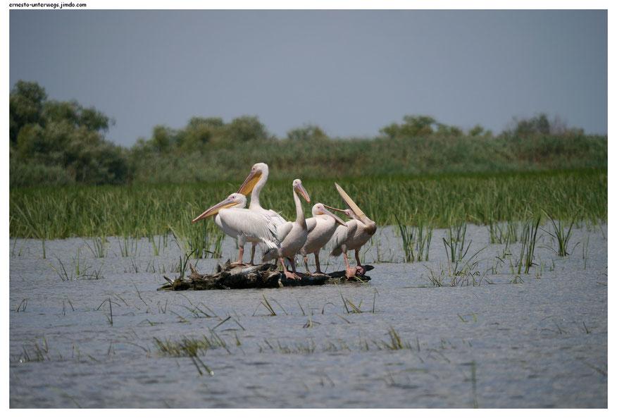 Pelikanplausch im Donaudelta