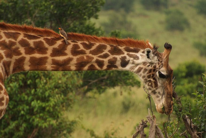 Der Gelbschnabel-Madenhacker lebt in Symbiose mit der Giraffe.