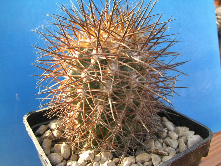 Megarhiza di  Copiapo', pianta acquistata in un vivaio olandese