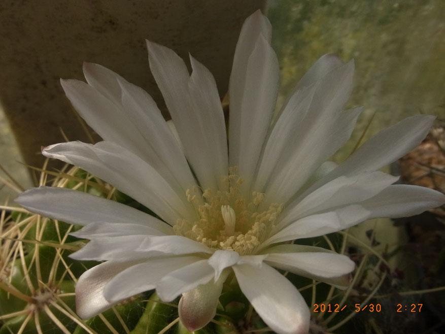 Gymnocalycium monvilleii