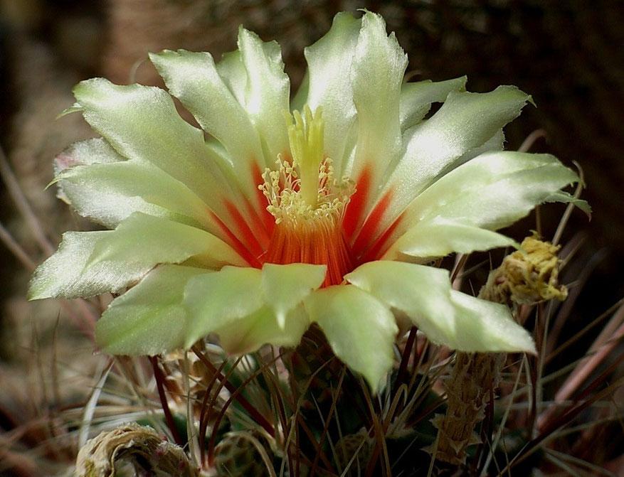 Hamathocactus setispinus