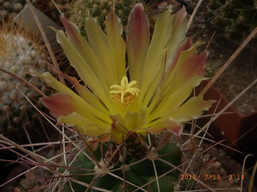 Hamathocactus sinatus v longihamathus