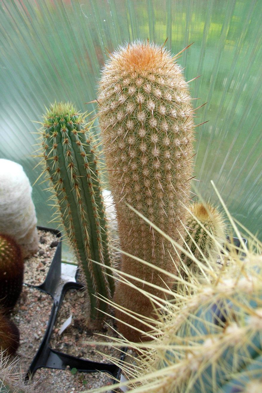 Haageocereus versicolor, braune Dornen