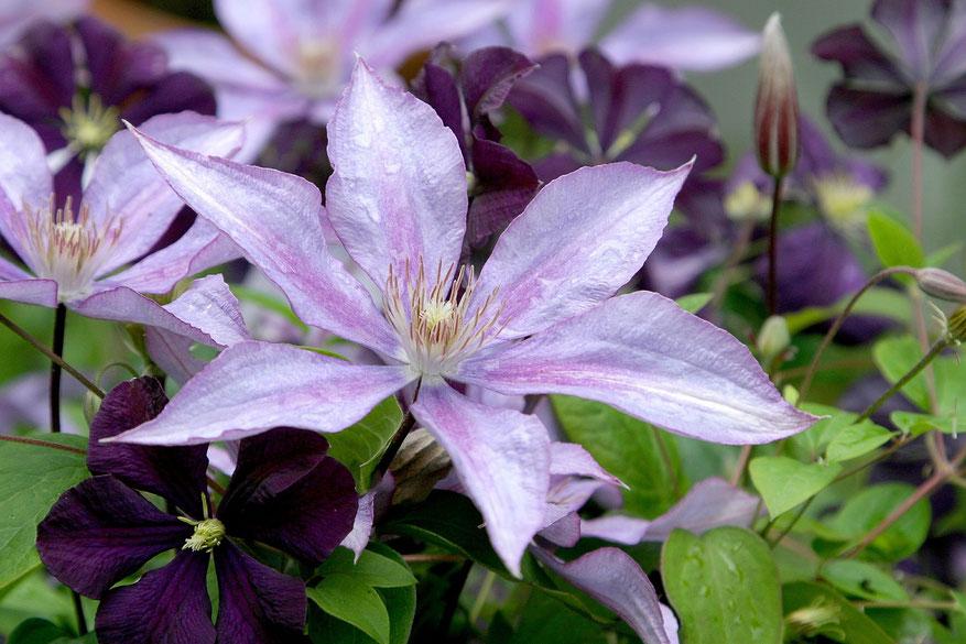 Bild: Die Clematis -Waldrebe eine plegeleichte und blütenreiche Kletterpflanze