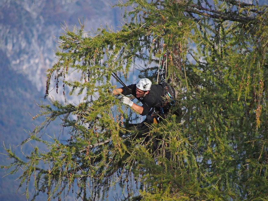 Baumpfleger Jakob Bartenbach beim Zapfenpflücken