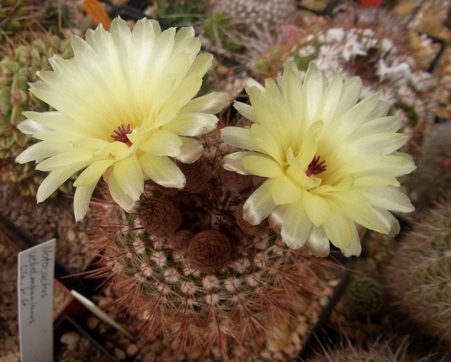 Notocactus schlosserii