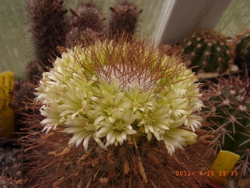Mammillaria lepthacantha f albiflora