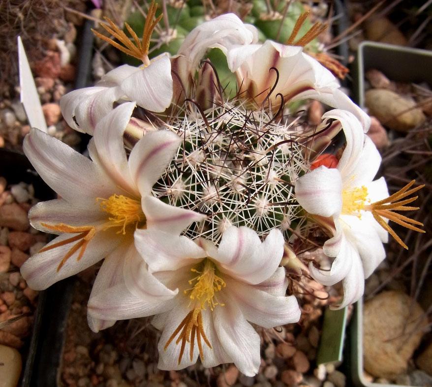 Mammillaria louisae