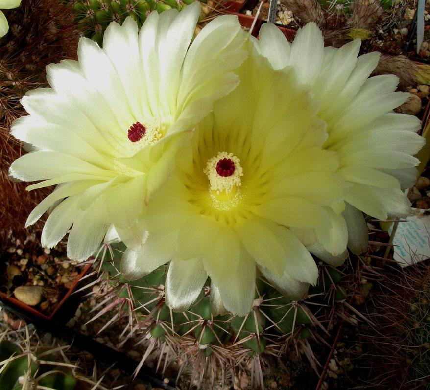 Notocactus mueller-melchersii
