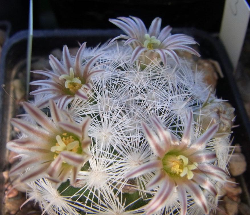 Mammillaria gassneriana II