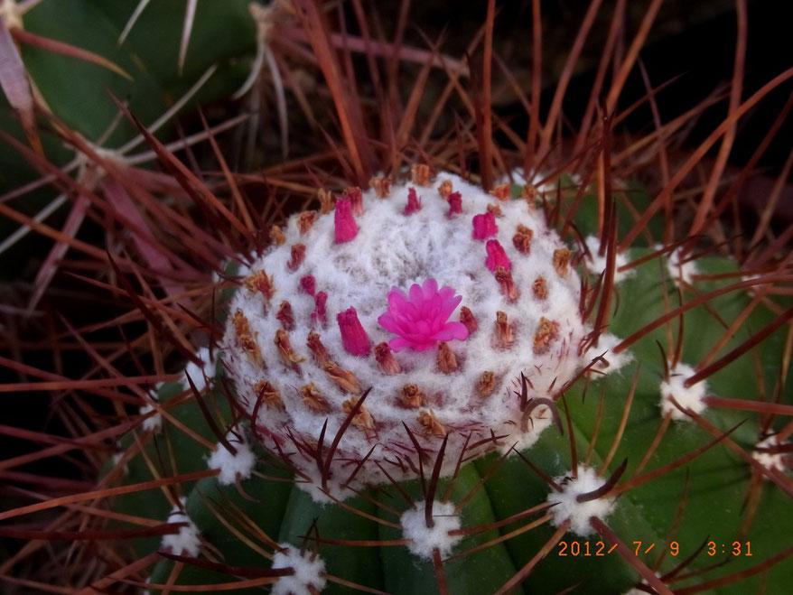 Melocactus ernestii longspinus - im August 2012
