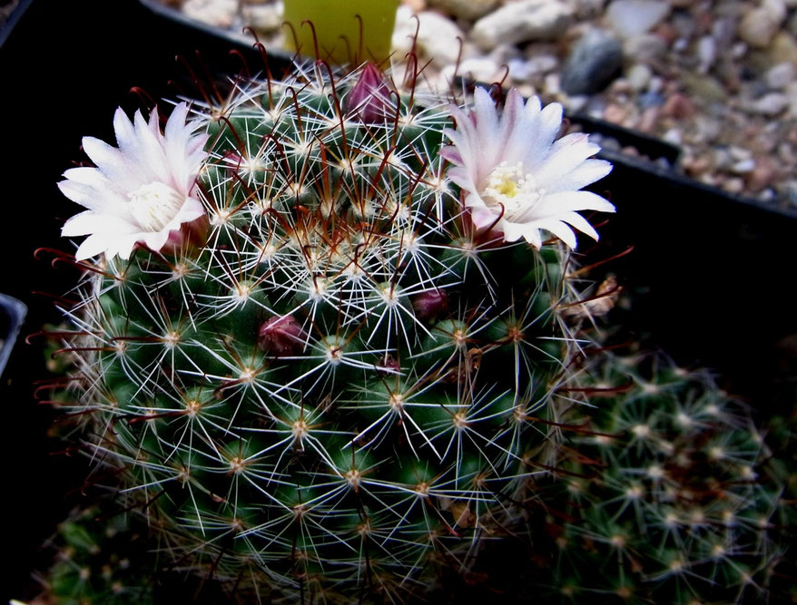 Mammillaria gilensis