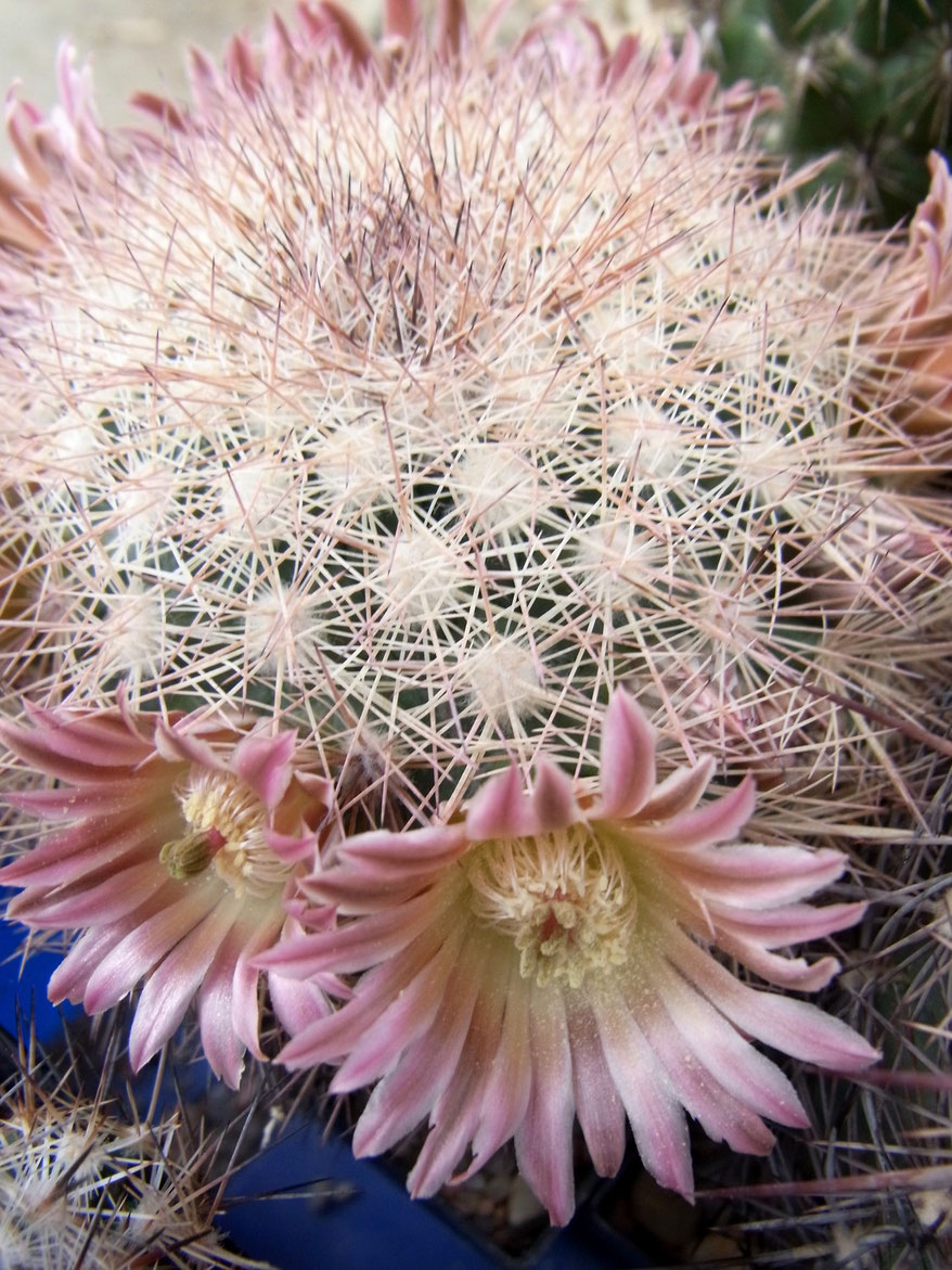 Mammillaria mexicensis