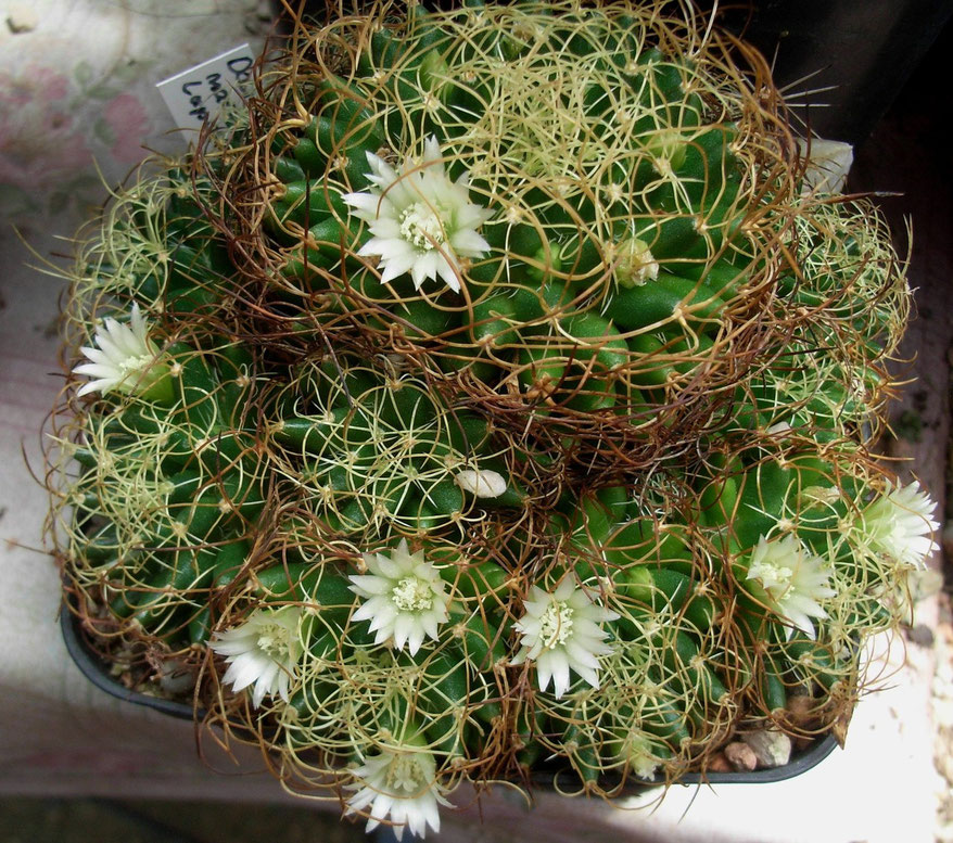 Mammillaria camptotricha cv marnier-lapostelleii