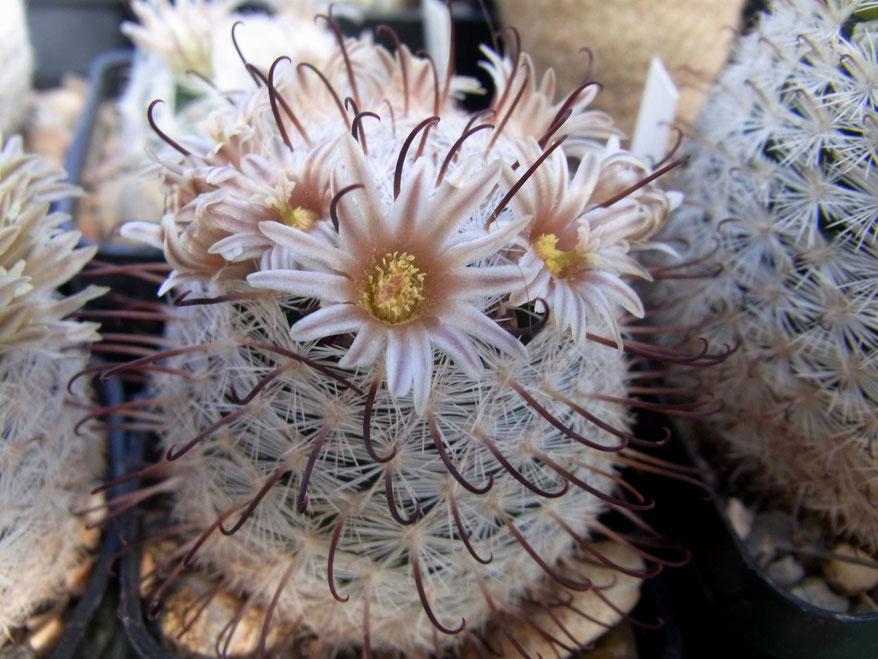 Mammillaria gassneriana I