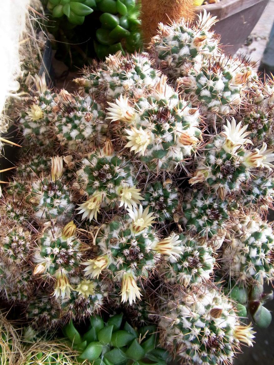 Mammillaraia voburensis