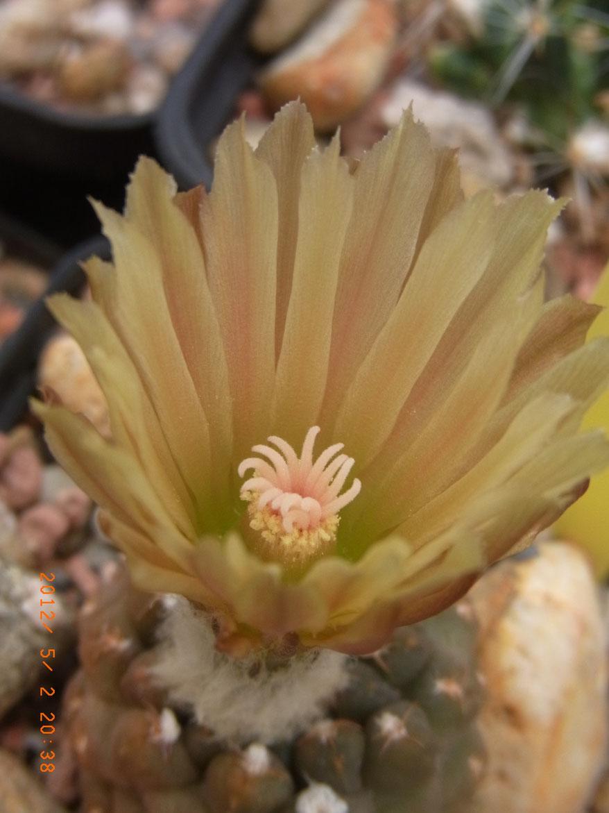 Thelocephala odierii ssp fulva