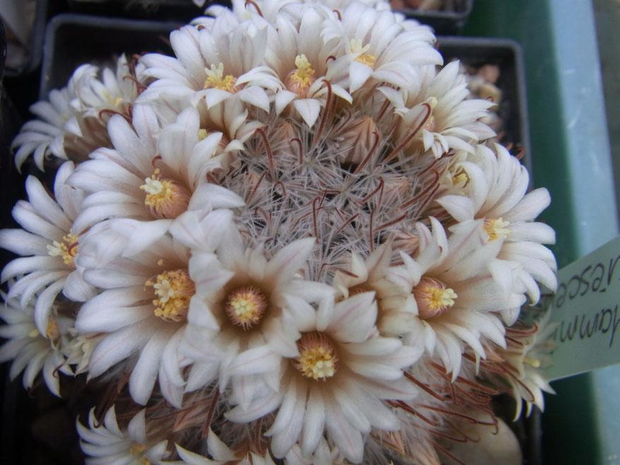 Mammillaria viescens