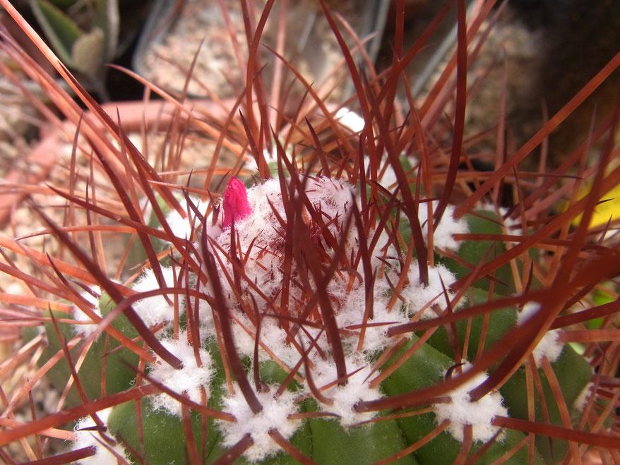 Melocactus ernestii longspinus im Mai 2012 die erst Blüte