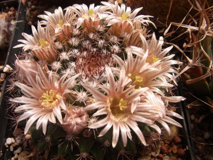 Mammillaria melanocentra f.