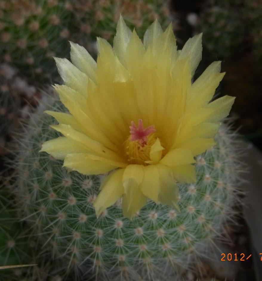Notocactus scopa v marchersii