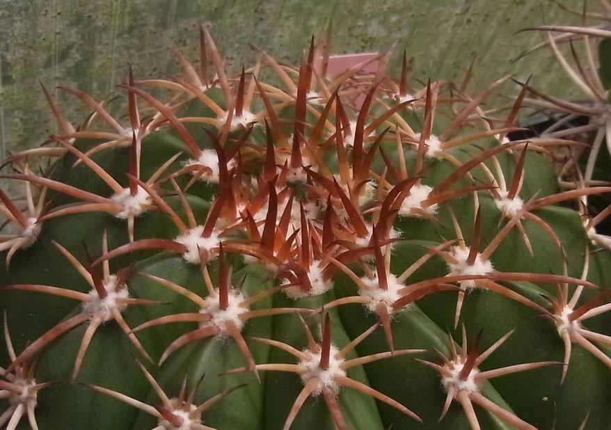 Melocactus curvispinus ? 2014