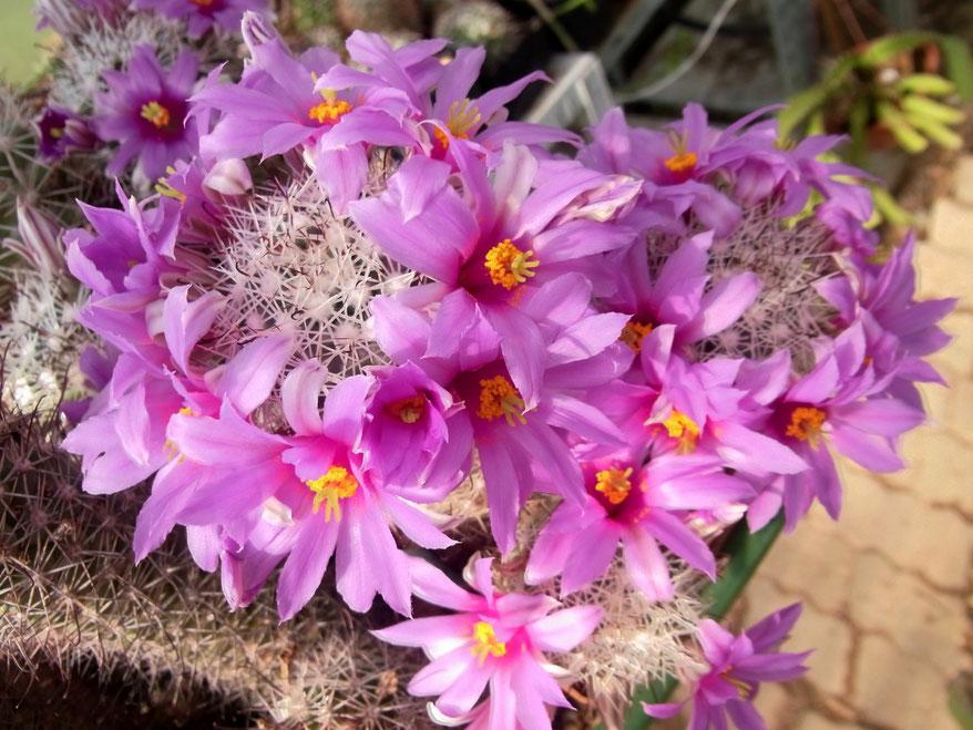 Mammillaria schumanniana