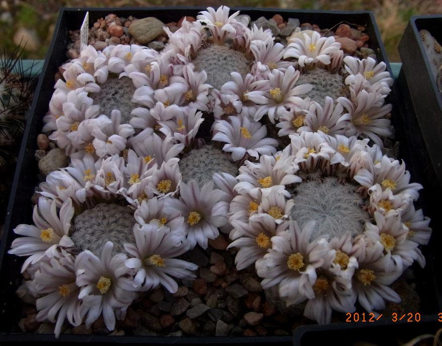 Mammillaria sanches-mejoradae