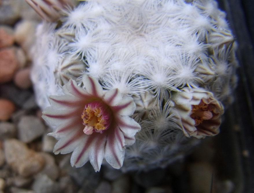 Mammillaria eggrigea SB 302