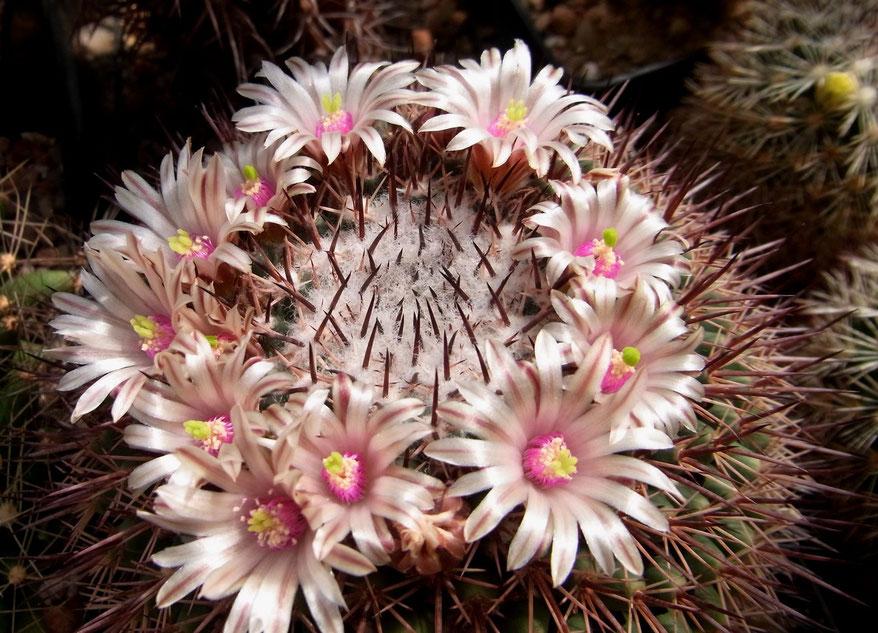 Mammillaria bocensis v rubida